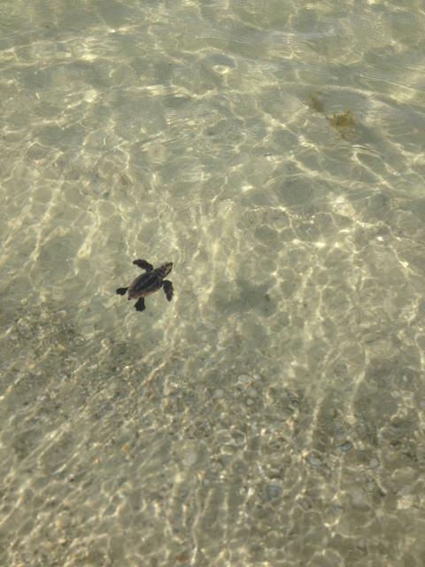 Gulf Coast Florida Turtles