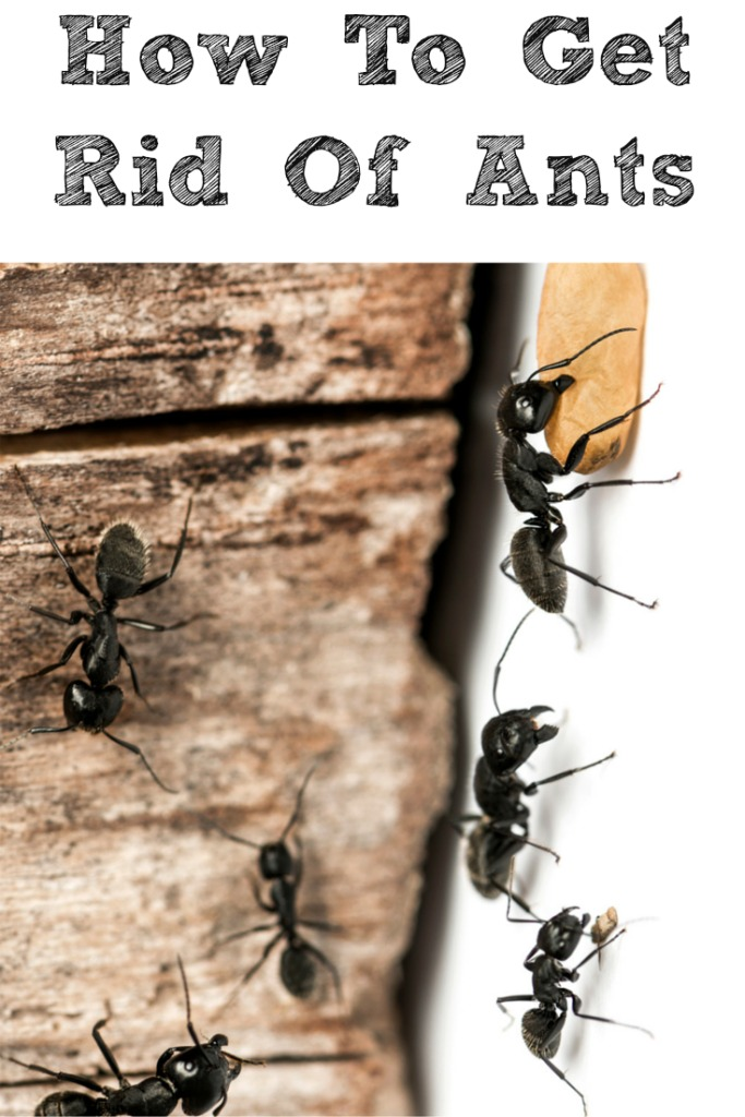 How to get rid of ants in your home!! In the summer and spring ants in the house can be awful but simple things help to get rid of them.